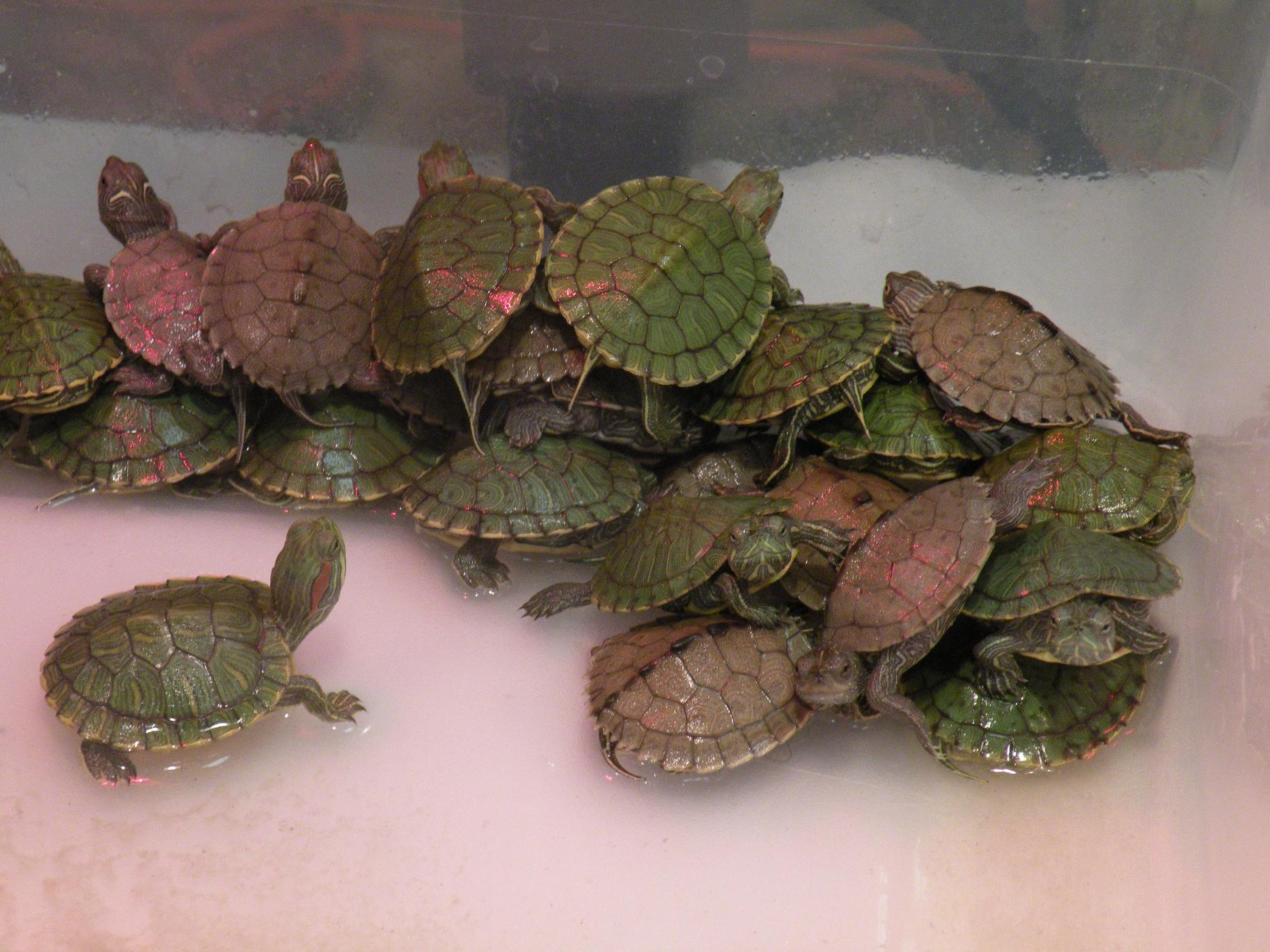 Turtles As Pets For Kids pet water turtles care related keywords ...